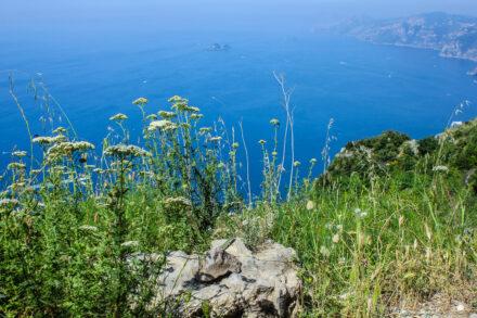 Ruineneidechsen an der Amalfiküste
