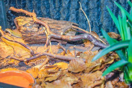 Terrarien für Podarcis siculus