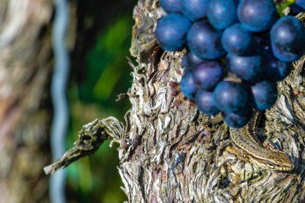 Mauereidechsen auf Weinreben